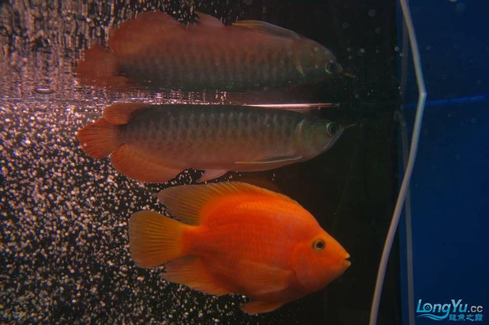 秀秀新手养的红龙 银川水族批发市场 银川龙鱼第20张
