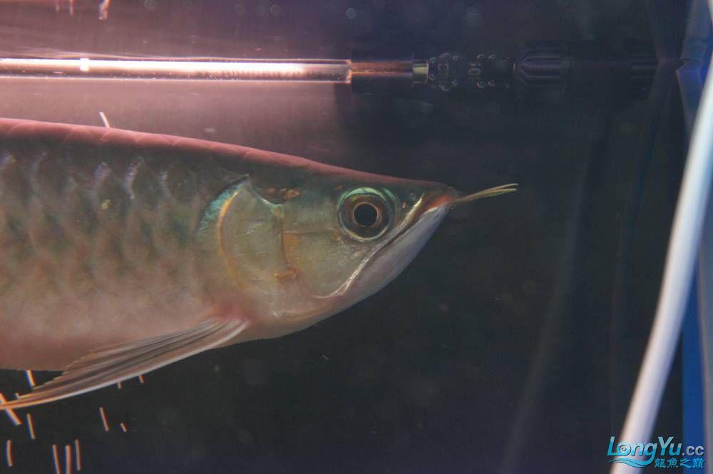 秀秀新手养的红龙 银川水族批发市场 银川龙鱼第21张