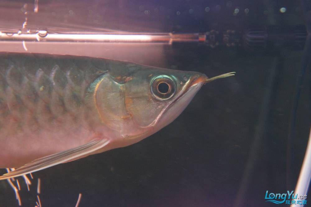 秀秀新手养的红龙 银川水族批发市场 银川龙鱼第23张