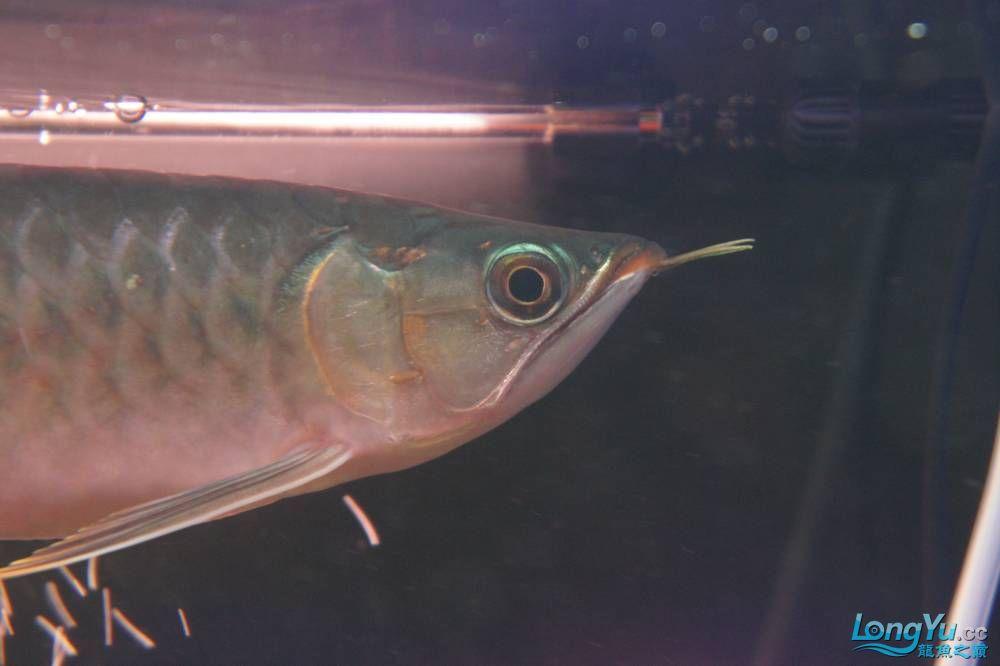 秀秀新手养的红龙 银川水族批发市场 银川龙鱼第24张