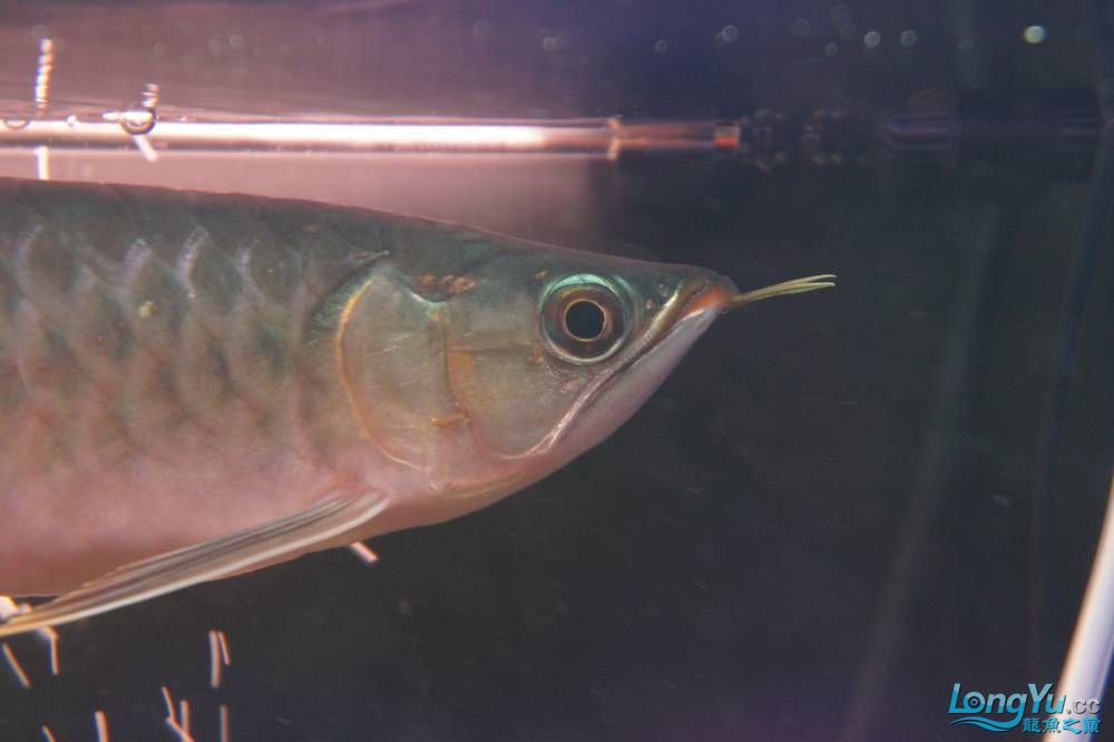 秀秀新手养的红龙 银川水族批发市场 银川龙鱼第25张