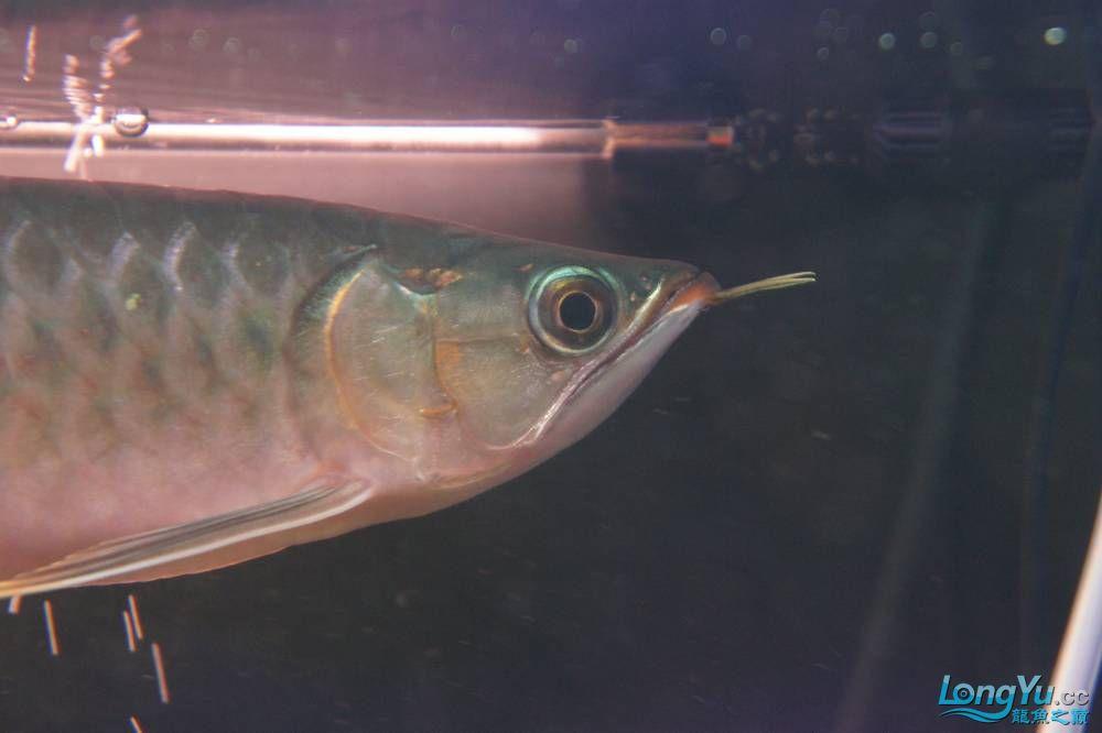 秀秀新手养的红龙 银川水族批发市场 银川龙鱼第27张