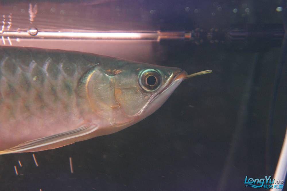 秀秀新手养的红龙 银川水族批发市场 银川龙鱼第28张