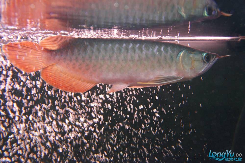 秀秀新手养的红龙 银川水族批发市场 银川龙鱼第30张