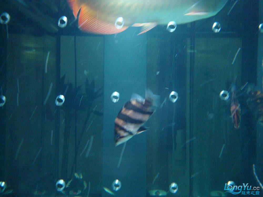 给力虎 营口观赏鱼 营口龙鱼第5张