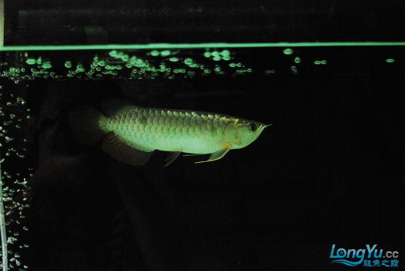 我的第一条龙 温州龙鱼论坛 温州龙鱼第5张