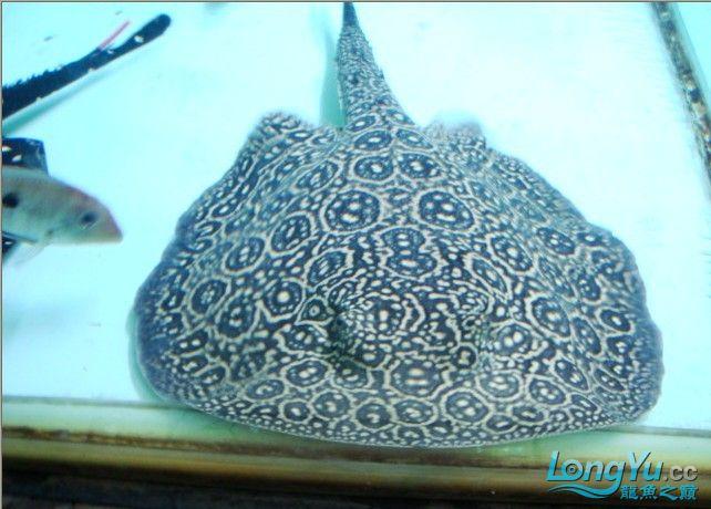 ((以全卖完))白纹黑帝种鱼--母38--公30 济南龙鱼论坛 济南龙鱼第1张
