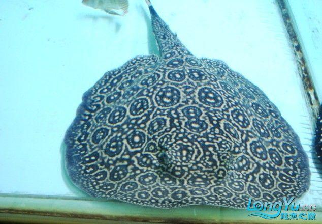 ((以全卖完))白纹黑帝种鱼--母38--公30 济南龙鱼论坛 济南龙鱼第3张