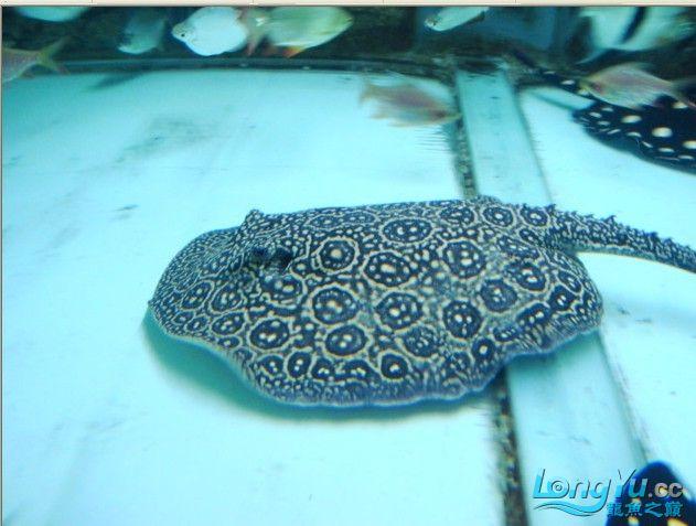 ((以全卖完))白纹黑帝种鱼--母38--公30 济南龙鱼论坛 济南龙鱼第4张