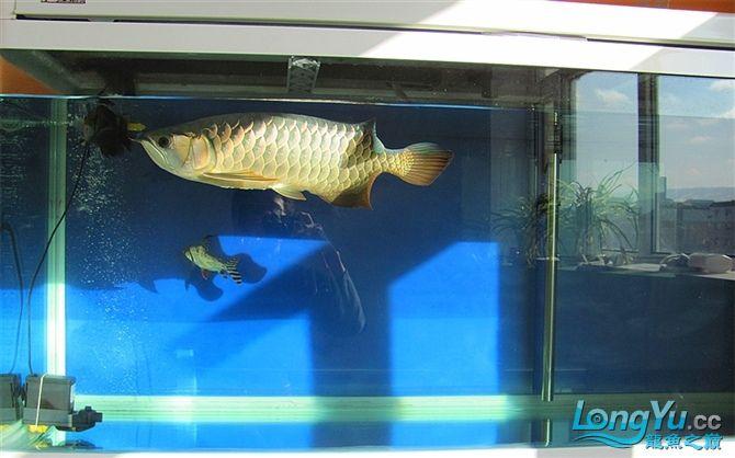 再发宝石照片欢迎往死里拍长沙帝王三间鼠鱼价格 长沙观赏鱼 长沙龙鱼第4张