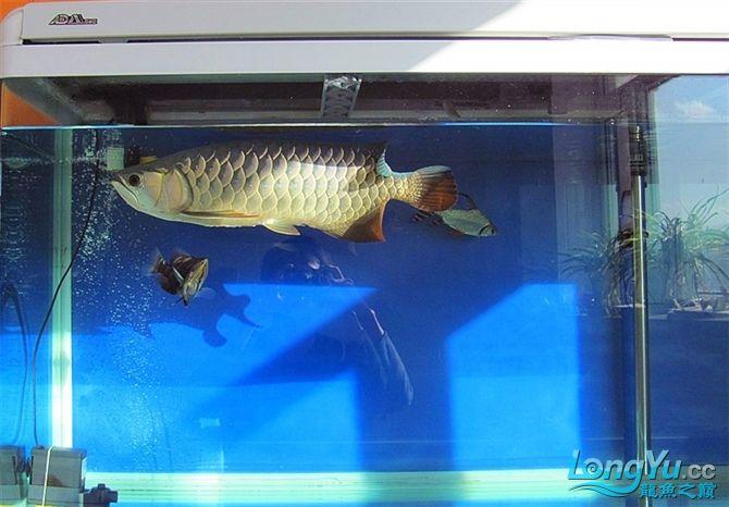 再发宝石照片欢迎往死里拍长沙帝王三间鼠鱼价格 长沙观赏鱼 长沙龙鱼第5张