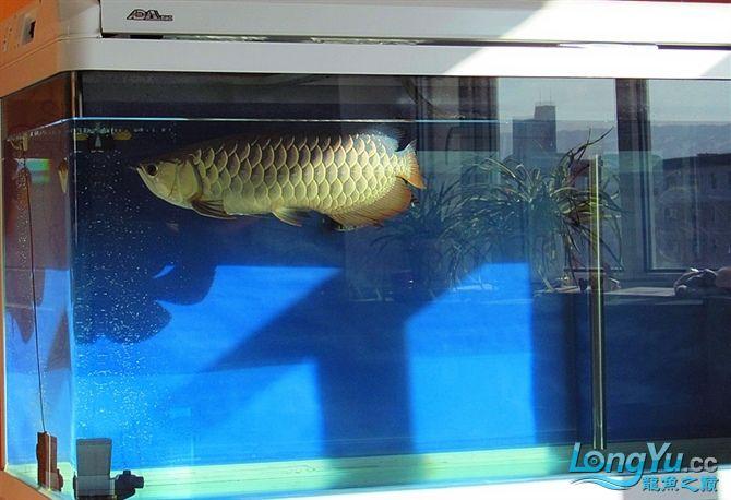 再发宝石照片欢迎往死里拍长沙帝王三间鼠鱼价格 长沙观赏鱼 长沙龙鱼第8张