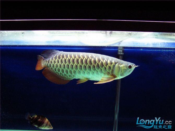 再发宝石照片欢迎往死里拍长沙帝王三间鼠鱼价格 长沙观赏鱼 长沙龙鱼第9张