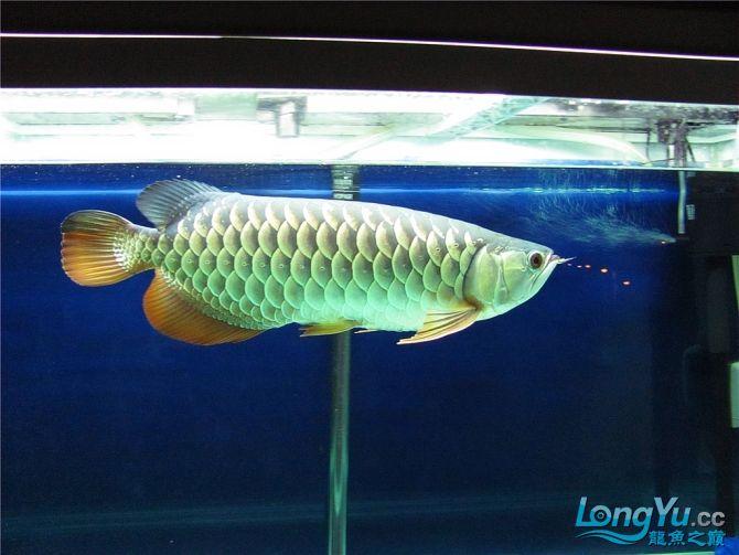再发宝石照片欢迎往死里拍长沙帝王三间鼠鱼价格 长沙观赏鱼 长沙龙鱼第10张