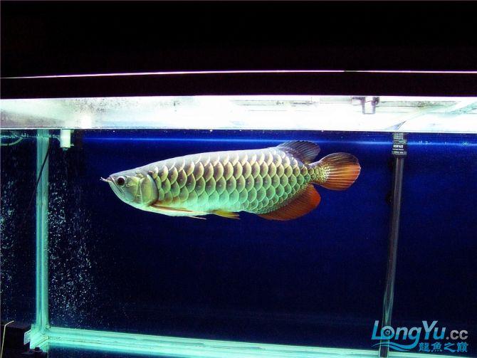 再发宝石照片欢迎往死里拍长沙帝王三间鼠鱼价格 长沙观赏鱼 长沙龙鱼第11张