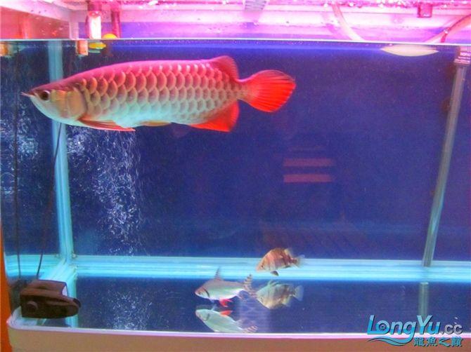 再发宝石照片欢迎往死里拍长沙帝王三间鼠鱼价格 长沙观赏鱼 长沙龙鱼第13张