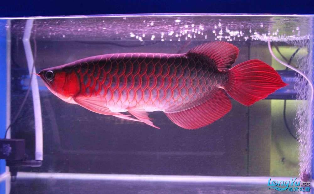 凱撒紅龍系列噴射機 合肥观赏鱼 合肥龙鱼第1张