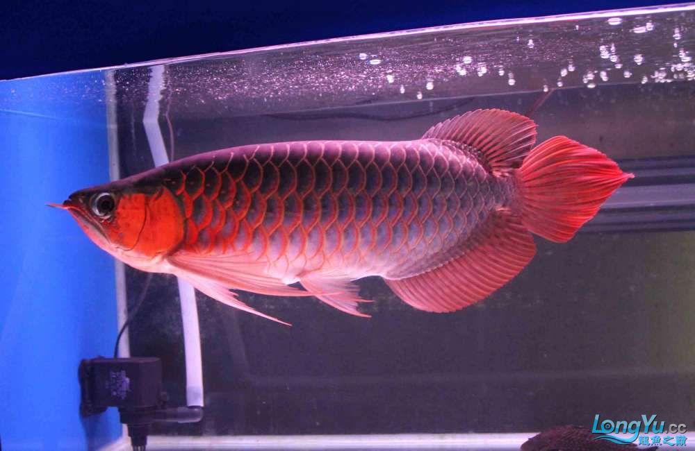 凱撒紅龍系列噴射機 合肥观赏鱼 合肥龙鱼第3张