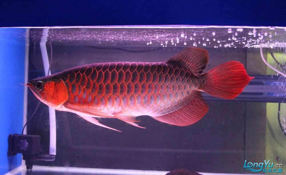凱撒紅龍系列噴射機 合肥观赏鱼 合肥龙鱼第4张