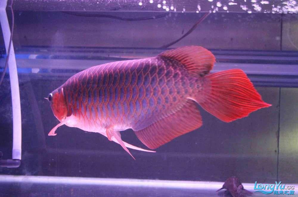 凱撒紅龍系列噴射機 合肥观赏鱼 合肥龙鱼第5张