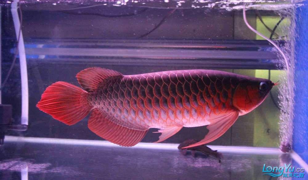 凱撒紅龍系列噴射機 合肥观赏鱼 合肥龙鱼第8张