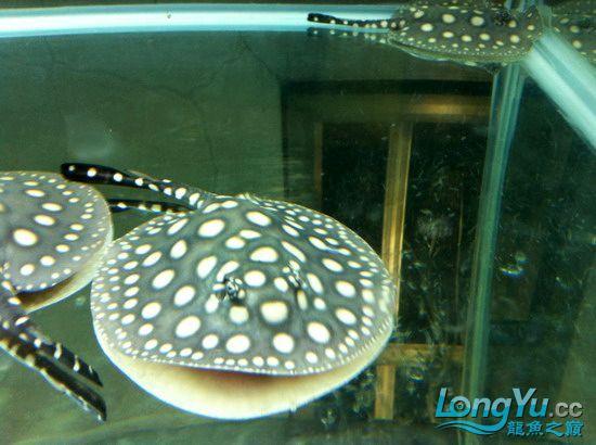售漂亮的皇冠蓋(15cm)一對(己售出20110412) 昆明龙鱼论坛 昆明龙鱼第7张