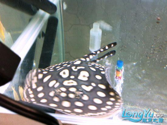 售漂亮的皇冠蓋(15cm)一對(己售出20110412) 昆明龙鱼论坛 昆明龙鱼第3张