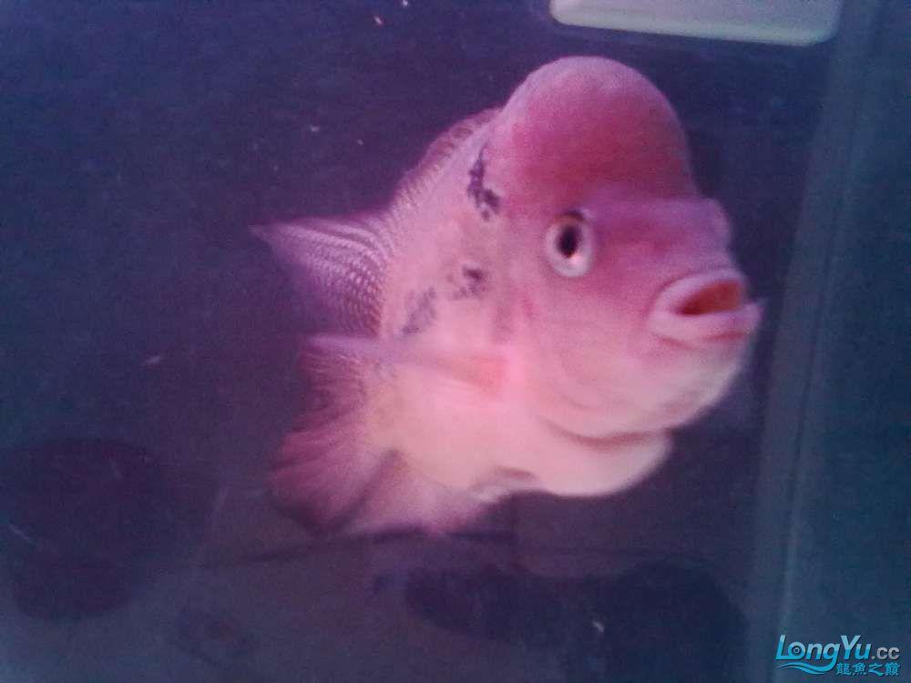 这是什么罗汉?[以解决] 北京观赏鱼 北京龙鱼第3张