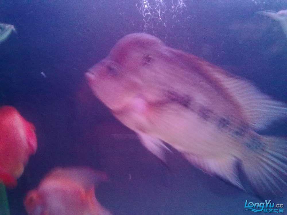 这是什么罗汉?[以解决] 北京观赏鱼 北京龙鱼第5张
