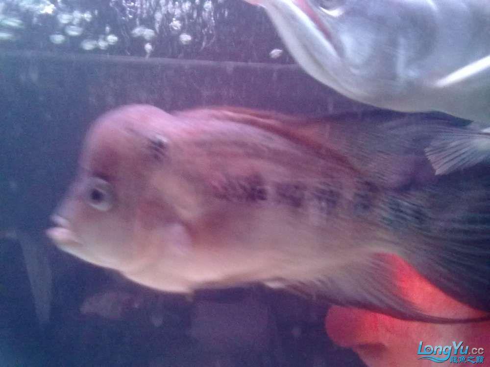 这是什么罗汉?[以解决] 北京观赏鱼 北京龙鱼第7张