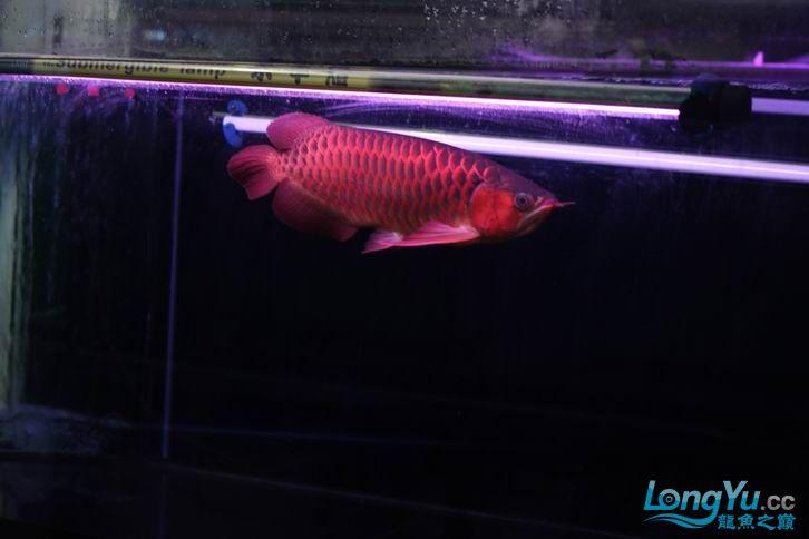 北京鱼缸 水族用品很红很暴力 几条鱼场里的红透了的极上究極血龙 大鱼 大家欣赏一 北京观赏鱼 北京龙鱼第1张