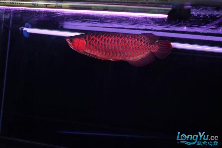 北京鱼缸 水族用品很红很暴力 几条鱼场里的红透了的极上究極血龙 大鱼 大家欣赏一 北京观赏鱼 北京龙鱼第5张