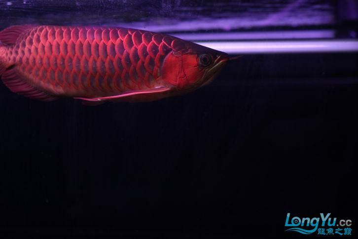 北京鱼缸 水族用品很红很暴力 几条鱼场里的红透了的极上究極血龙 大鱼 大家欣赏一 北京观赏鱼 北京龙鱼第6张