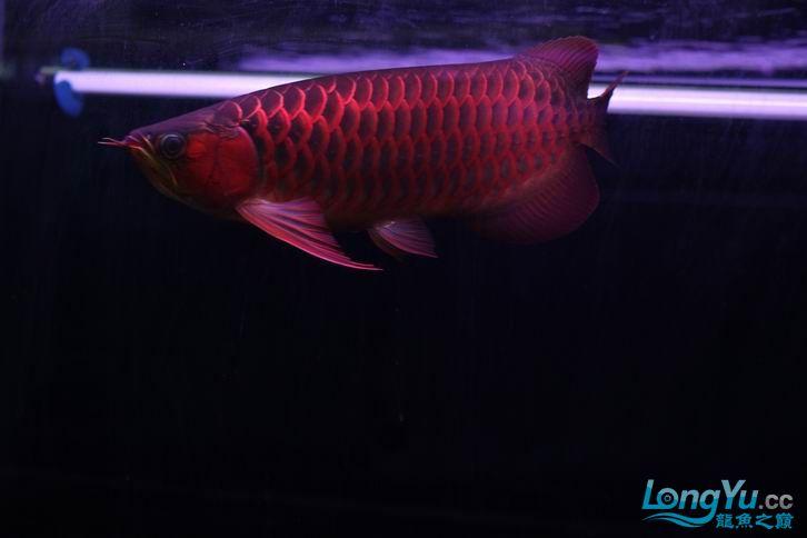 北京鱼缸 水族用品很红很暴力 几条鱼场里的红透了的极上究極血龙 大鱼 大家欣赏一 北京观赏鱼 北京龙鱼第8张