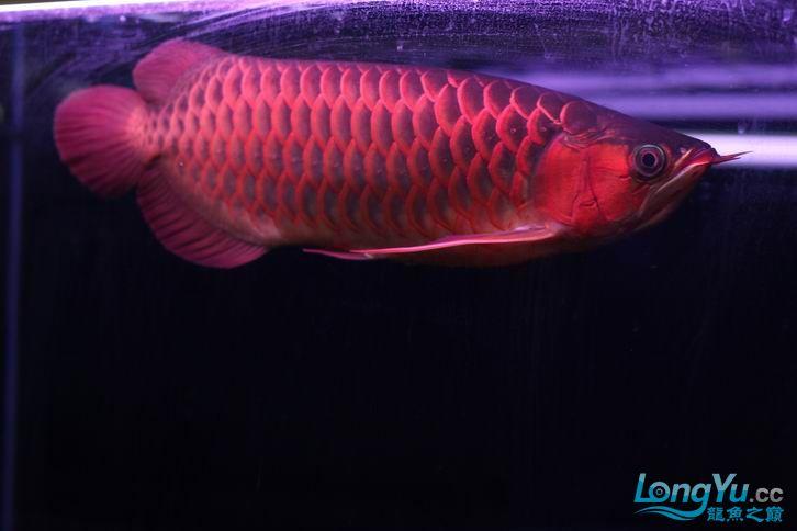 北京鱼缸 水族用品很红很暴力 几条鱼场里的红透了的极上究極血龙 大鱼 大家欣赏一 北京观赏鱼 北京龙鱼第10张
