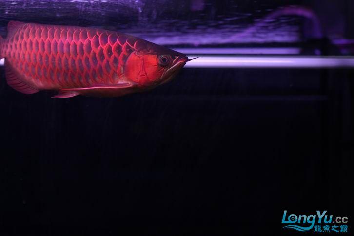 北京鱼缸 水族用品很红很暴力 几条鱼场里的红透了的极上究極血龙 大鱼 大家欣赏一 北京观赏鱼 北京龙鱼第9张