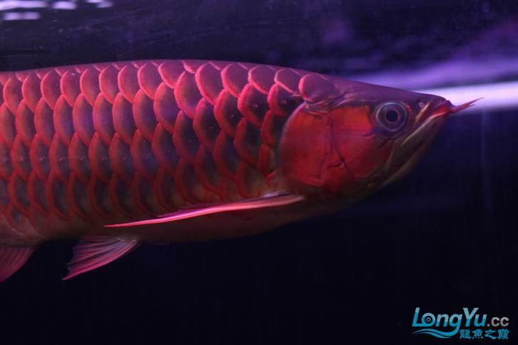 北京鱼缸 水族用品很红很暴力 几条鱼场里的红透了的极上究極血龙 大鱼 大家欣赏一 北京观赏鱼 北京龙鱼第11张