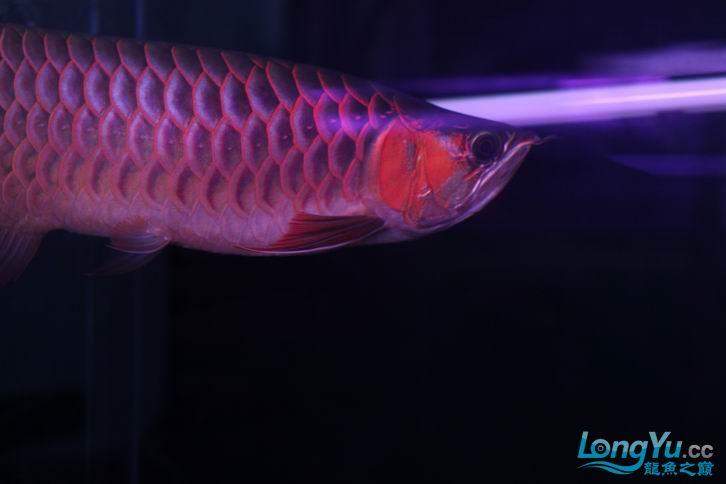 北京鱼缸 水族用品很红很暴力 几条鱼场里的红透了的极上究極血龙 大鱼 大家欣赏一 北京观赏鱼 北京龙鱼第12张