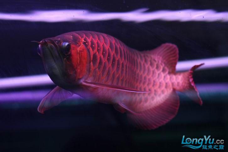 北京鱼缸 水族用品很红很暴力 几条鱼场里的红透了的极上究極血龙 大鱼 大家欣赏一 北京观赏鱼 北京龙鱼第14张
