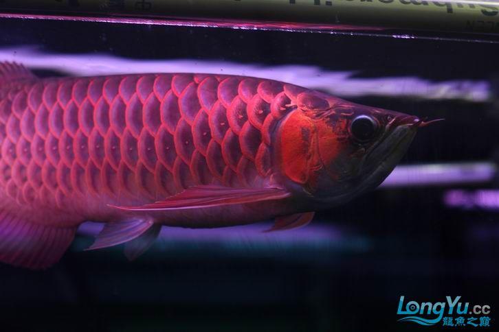 北京鱼缸 水族用品很红很暴力 几条鱼场里的红透了的极上究極血龙 大鱼 大家欣赏一 北京观赏鱼 北京龙鱼第15张