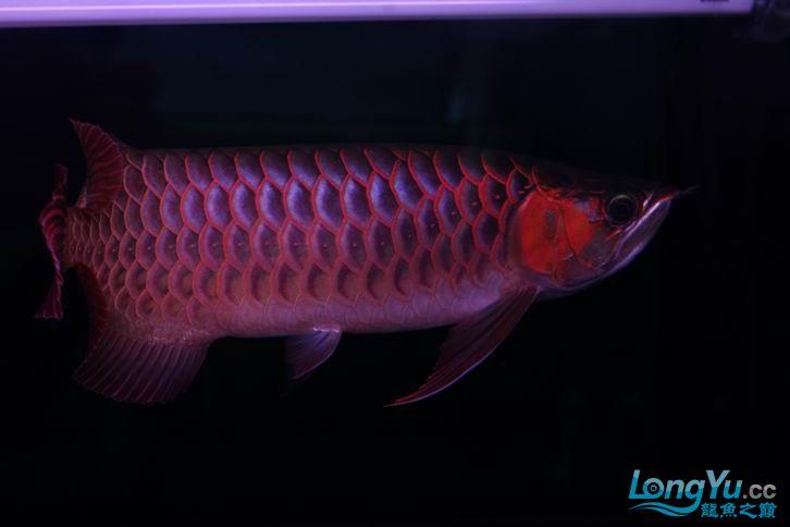 北京鱼缸 水族用品很红很暴力 几条鱼场里的红透了的极上究極血龙 大鱼 大家欣赏一 北京观赏鱼 北京龙鱼第17张