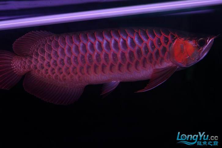 北京鱼缸 水族用品很红很暴力 几条鱼场里的红透了的极上究極血龙 大鱼 大家欣赏一 北京观赏鱼 北京龙鱼第16张