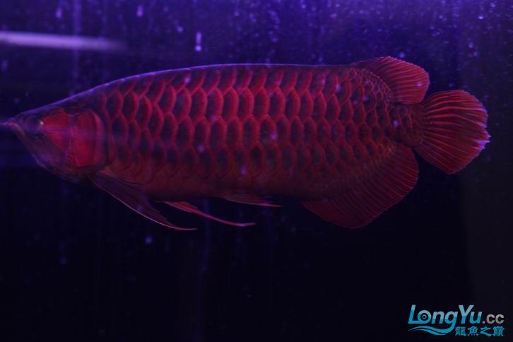 北京鱼缸 水族用品很红很暴力 几条鱼场里的红透了的极上究極血龙 大鱼 大家欣赏一 北京观赏鱼 北京龙鱼第20张