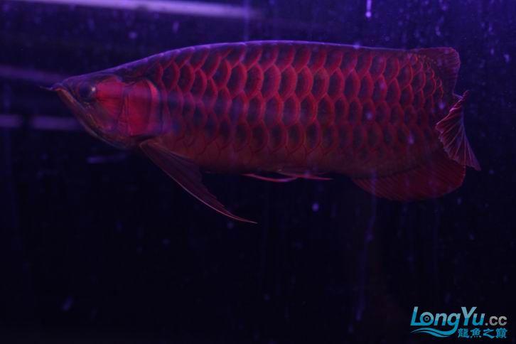 北京鱼缸 水族用品很红很暴力 几条鱼场里的红透了的极上究極血龙 大鱼 大家欣赏一 北京观赏鱼 北京龙鱼第21张
