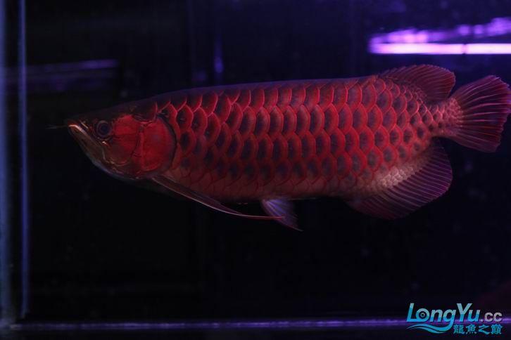北京鱼缸 水族用品很红很暴力 几条鱼场里的红透了的极上究極血龙 大鱼 大家欣赏一 北京观赏鱼 北京龙鱼第24张