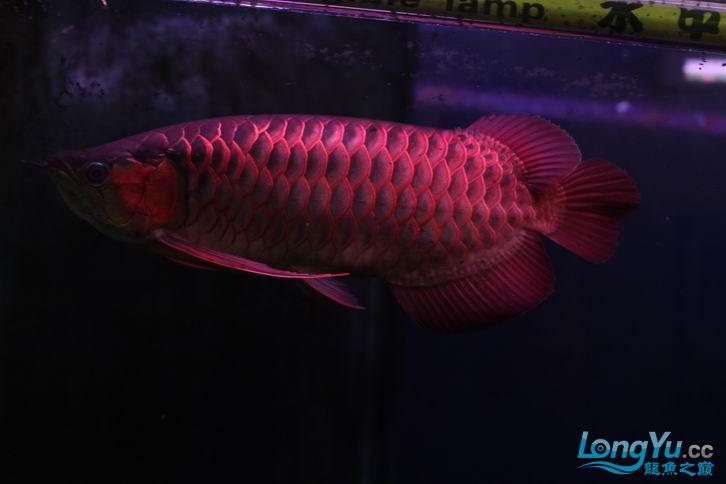 北京鱼缸 水族用品很红很暴力 几条鱼场里的红透了的极上究極血龙 大鱼 大家欣赏一 北京观赏鱼 北京龙鱼第29张