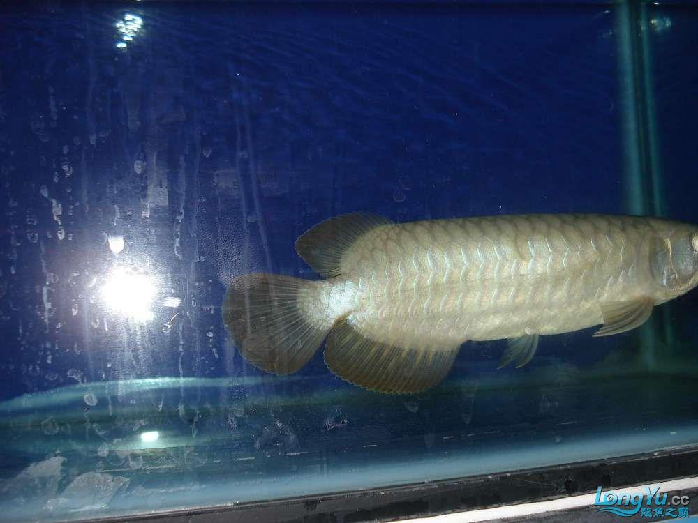 呼和浩特热带鱼龙鱼童生找老师 呼和浩特观赏鱼 呼和浩特龙鱼第2张
