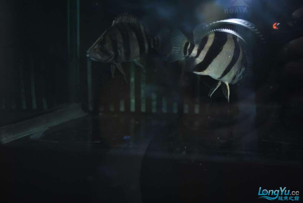 我也来发发我家的虎沈阳二手龙鱼缸
