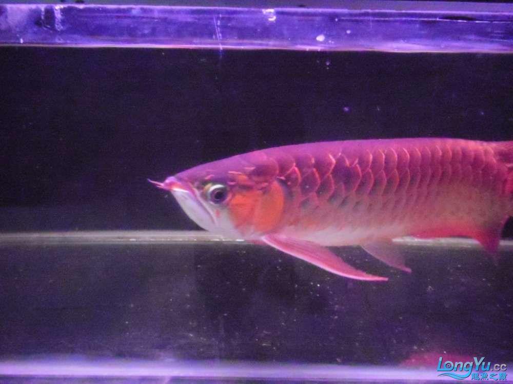 5060公分红龙鱼有长沙哪个水族店卖斑马鸭嘴意请联系13371490056 长沙龙鱼论坛 长沙龙鱼第2张