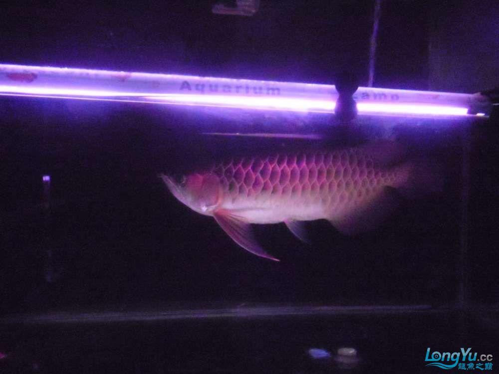 5060公分红龙鱼有长沙哪个水族店卖斑马鸭嘴意请联系13371490056 长沙龙鱼论坛 长沙龙鱼第9张